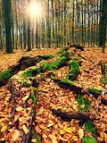 Mossy fallen tree. Footpath in the forest covered by bare roots. Stock Photo