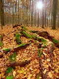 Mossy fallen tree. Footpath in the forest covered by bare roots. Stock Photography
