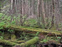 Mossy Fallen Trees Woods Stock Image