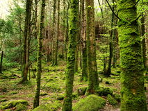 Mossy forest. Mossy trees at wet old forest Royalty Free Stock Images