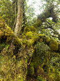 Mossy forest Cameron highlands Malaysia Stock Photography