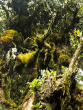 Mossy forest Cameron highlands Malaysia Royalty Free Stock Images