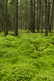 Mossy Forest Floor Stock Photography