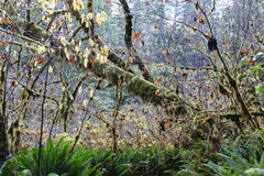 Mossy Forest. Incredible mossy forest growth in the Redwood Forests in Northern California USA Royalty Free Stock Photo