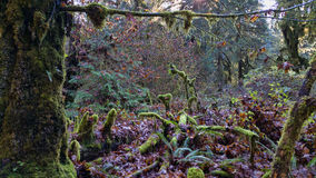 A Mossy Forest. Moss covered trees and tree stumps in a Washington forest stock image
