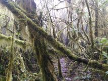 Mossy forest. Mt.Maagnaw Forest in Philippines Royalty Free Stock Image