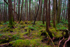 Mossy Forest of Mt.YATSUGATAKE Royalty Free Stock Images