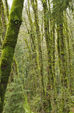 Mossy Forest. Tree in a forest covered with green moss Stock Photo