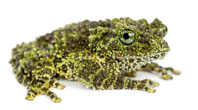 Mossy Frog, Theloderma corticale Stock Photography