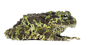 Mossy Frog, Theloderma corticale Royalty Free Stock Photography