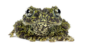 Mossy Frog, Theloderma corticale Royalty Free Stock Image