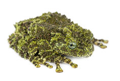 Mossy Frog, Theloderma corticale Royalty Free Stock Images