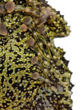 Mossy Frog, Theloderma corticale Stock Images