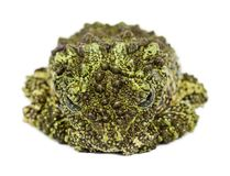 Mossy Frog, Theloderma corticale, also known as a Vietnamese Mos Stock Photos
