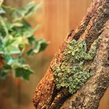 Mossy frog Theloderma corticale on the branch Royalty Free Stock Photos