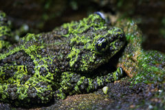 Mossy Frog stock photo