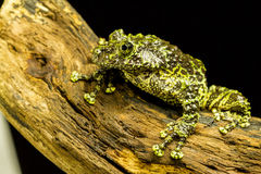 Mossy Frog (Theloderma corticale) Royalty Free Stock Photo