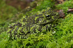 Mossy Frog (Theloderma Corticale) stock photos
