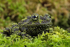 Mossy Frog (Theloderma Corticale) Royalty Free Stock Photography