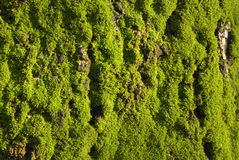 Mossy green. Mossy tree in morning sun light Royalty Free Stock Images
