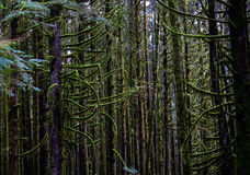 Mossy green forest. Moss covered trees and branches in the forest Stock Photo