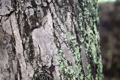Mossy green gray tree trunk texture. Beautiful Mossy green gray tree trunk texture Royalty Free Stock Photography