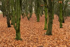 Mossy green trees and a carpet of golden autumnal leaves at Park Hall Country Park, Staffordshire stock images