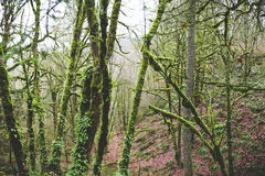 Mossy green trees in an Oregon forest in winter. Royalty Free Stock Photo
