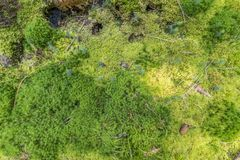 Ground cover vegetation. Mossy ground cover vegetation in a forest seen from above Royalty Free Stock Photos