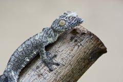 Free Mossy Leaf-tailed Gecko (Uroplatus Sikorae) Camouflaged Royalty Free Stock Photo - 46725105