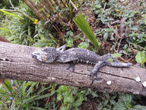 Free Mossy Leaf-tailed Gecko (Uroplatus Sikorae) Camouflaged Royalty Free Stock Images - 46726669
