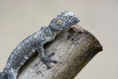 Mossy leaf-tailed gecko (Uroplatus sikorae) camouflaged Royalty Free Stock Photo