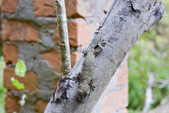 Mossy leaf-tailed gecko (Uroplatus sikorae) camouflaged Royalty Free Stock Photography