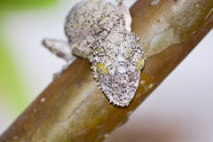 Mossy leaf-tailed gecko (Uroplatus sikorae) camouflaged Stock Photos
