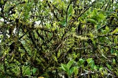 Mossy lime tree spotted in the Secret Gardens. San Gerardo royalty free stock photography