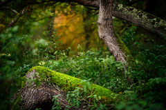Mossy Log in Woodland Scene. Green moss grows on a tree trunk surrounded by vegetation in this early autumn woodland scene. The green is extra vibrant as it is Royalty Free Stock Images