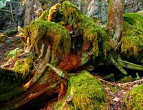 Mossy Mess. Moss covered red cedar trees, logs and roots - along the McKenzie River near Carmen Reservoir - OR Stock Photo