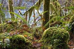 Mossy Mystical Forest Scene. A scenic, lush Oregon mystical forest with mossy rocks and trees stock image