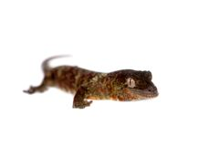 Mossy New Caledonian gecko isolated on white Royalty Free Stock Photo