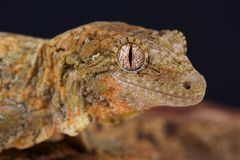 Mossy New Caledonian gecko / Mniarogekko chahoua Stock Photography