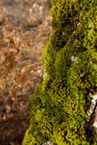 Mossy oak bark Royalty Free Stock Photo