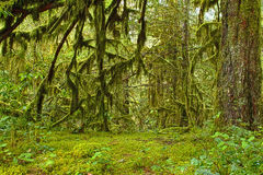 Mossy Oak Forest Haven HDR. Moss laden oak trees in an Oregon forest HDR royalty free stock photos