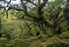 Mossy oaks in Dartmoor Stock Image