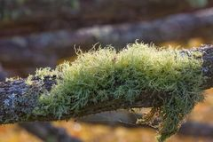 Mossy old tree branch Royalty Free Stock Photo