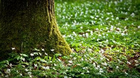 Mossy old tree and windflower in forest Stock Image