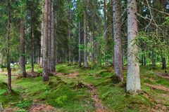 Mossy pine forest. In the mountains, summertime Stock Photography