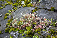 Mossy Plant Royalty Free Stock Image
