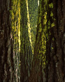 Mossy Ponderosas at Sequoia Nat. Forest. Moss decorate tall ponderosa pines in Sequoia National Forest, California Royalty Free Stock Photos