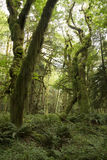 Mossy Rainforest. Moss growing in a rain forest in the Pacific Northwest Royalty Free Stock Photos
