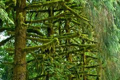 Mossy Rainforest Trees Royalty Free Stock Image